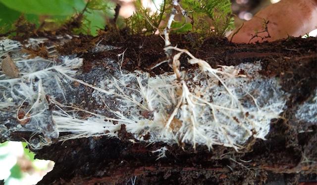 Micelio sobre madera